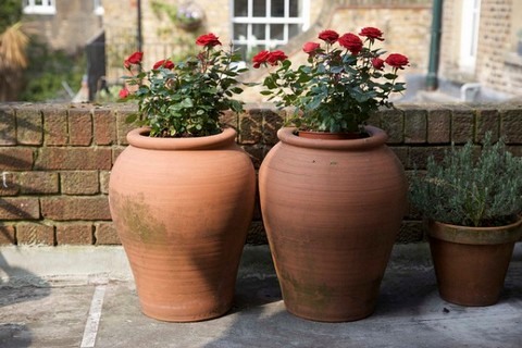 Red roses in pots outdoors